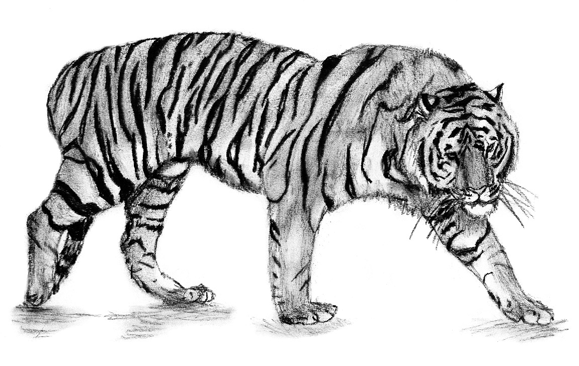 Tiger #65 (Animals) – Printable coloring pages | 728x1151