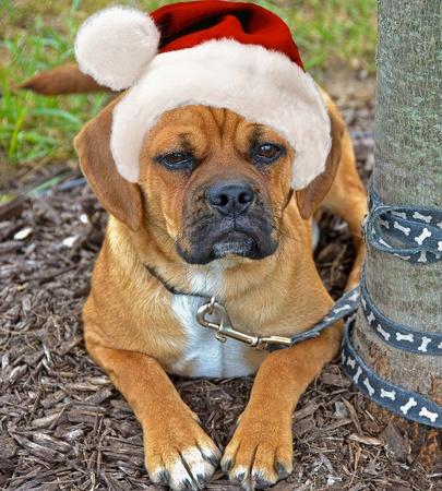 Puggle puppy wearing a Santa hat Stock Photo - 16938167