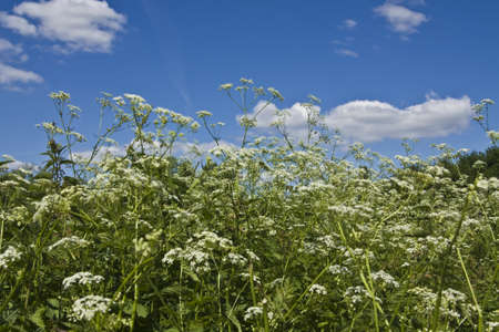 Meadow in blossom with white wild flowers parsnip on blue sky  Stock Photo - 17858716