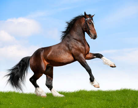 beautiful horse: Bay horse running in field