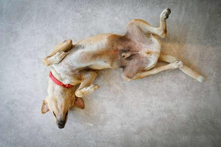 Dog Lying On Back Stock Photos And Images 123rf