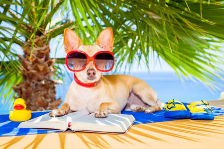 chihuahua dog reading a book and relaxing under the palm at the beach , enjoying the summer vacation holidays Stock Photo - 40575334