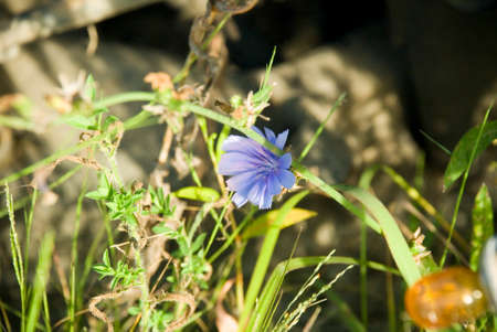 single Blue Chicory Flower Macro Photography Stock Photo - 44713477