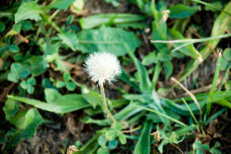 White Dandelion in Grass Macro Photography Stock Photo - 44713516