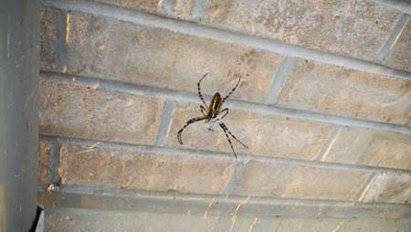 Black and Yellow garden Spider with prey Stock Photo - 45838647