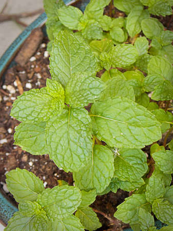 Spearmint in pot, Stock Photo - 62813515