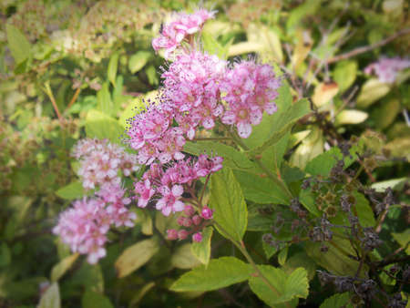 Spiraea japonica,  'Lemon Princess',  Japanese spirea Stock Photo - 62813517