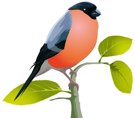 beautiful bird bullfinch Stock Vector - 10866446