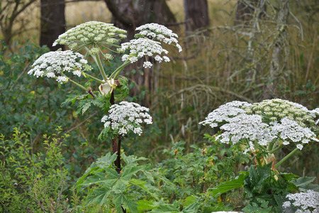 Giant Hogweed  Heracleum mantegazzianum , phototoxic plant in the umbellifera family  Stock Photo - 29606749