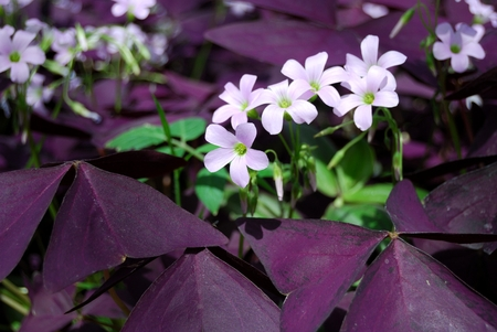 purple shamrock: Flower Oxalis triangularis , Purple shamrock