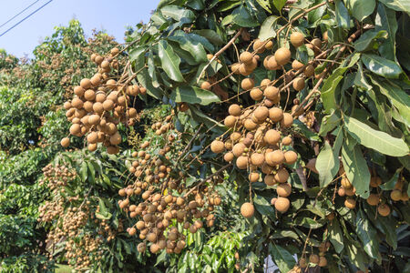 longan tree: Tasty longan fruit hanging on tree