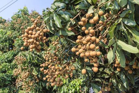 longan tree: Tasty longan fruit hanging on tree