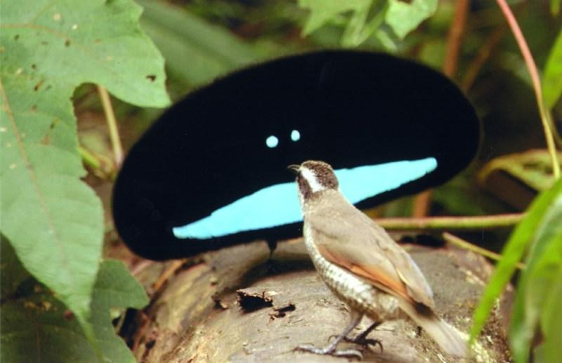 No es un alienígena, es un ave del paraíso cortejando a una hembra - Photo 2