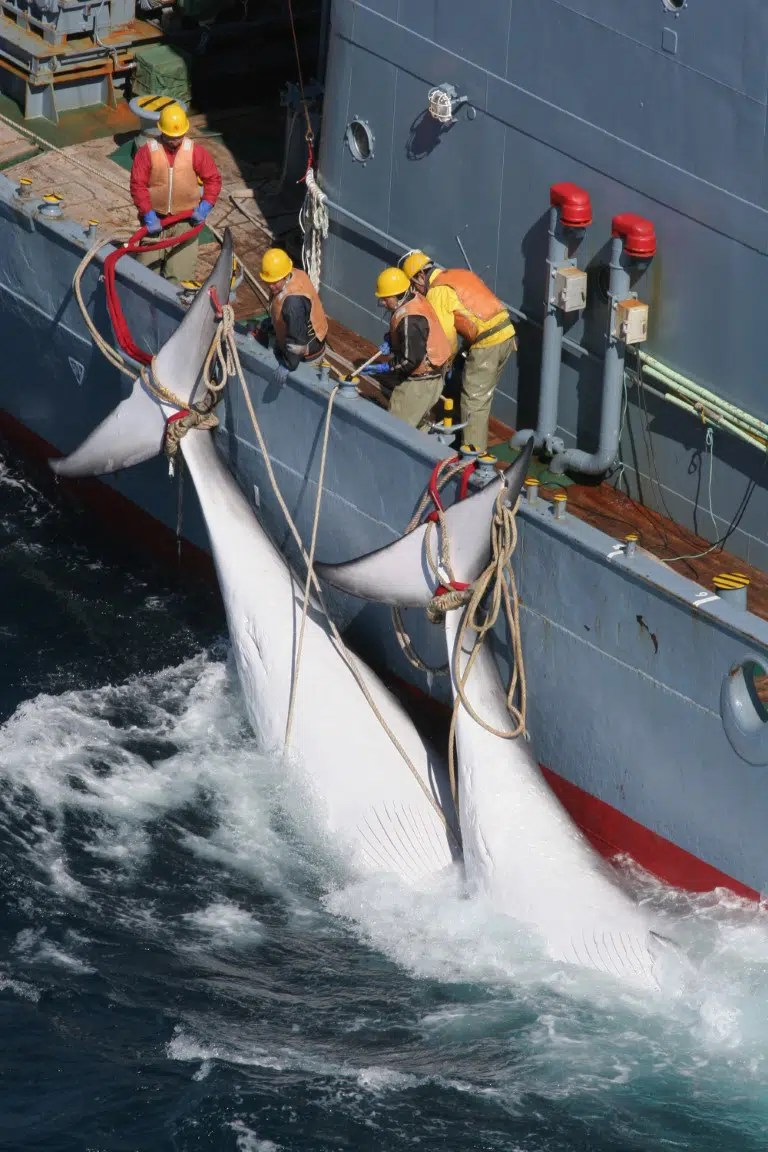 Japan Is Leaving The Whaling Commission To Start