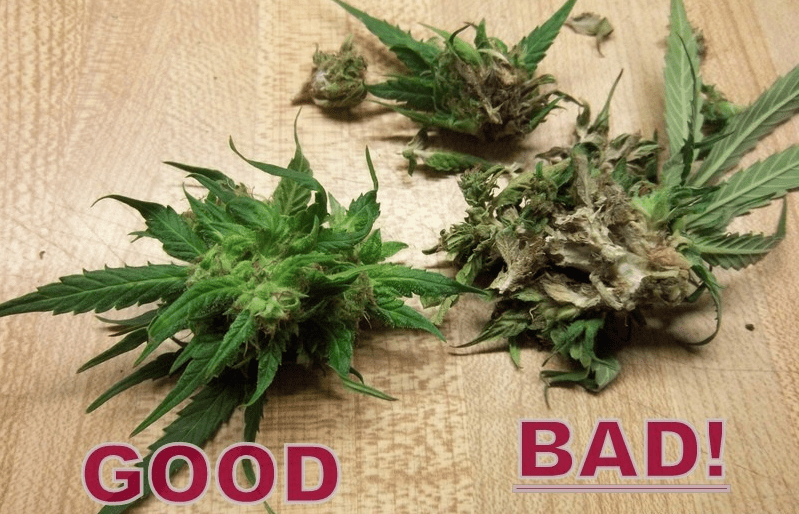 Northern Lights Cannabis Plant