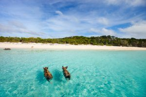 Swimming,Pigs,Of,The,Bahamas,In,The,Out,Islands,Of