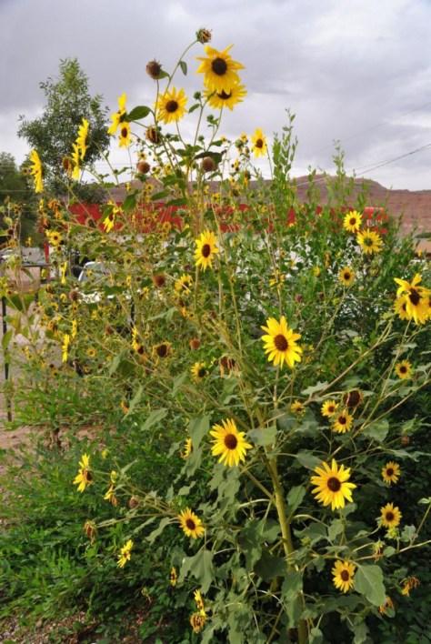Sonnenblumen an einem Regentag hinter unserem Frühstücksrestaurant