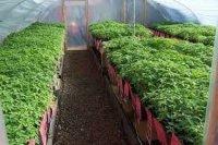 Огородные работы в марте - рассада помидоров