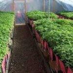 Огородные работы в марте — сажаем рассаду помидоров