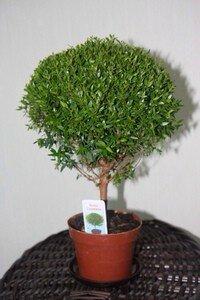 комнатное растение мирт