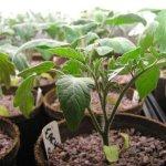 Выращивание хорошей рассады помидор: подготовка семян, посадка и уход