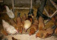 Чем кормить кур зимой, чтобы они несли яйца