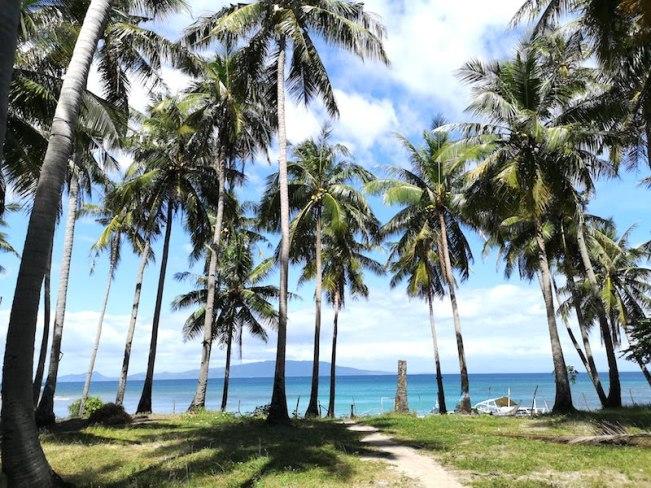 プエルトガレラのココナッツツリー