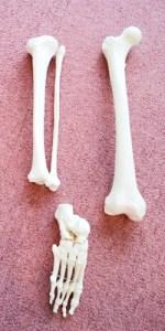 腕、手の骨格模型