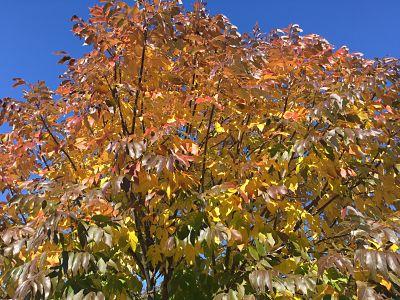 urbanite+ash_fall+leaf+color