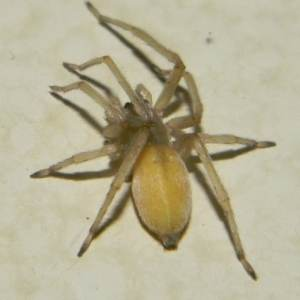 Cheiracanthium Mildei - Northern Yellow Sac Spider