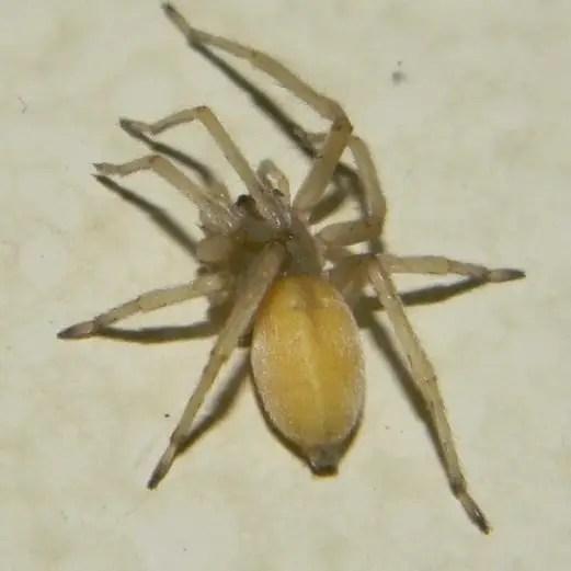 Cheiracanthium Mildei - Northern Yellow Sac Spider