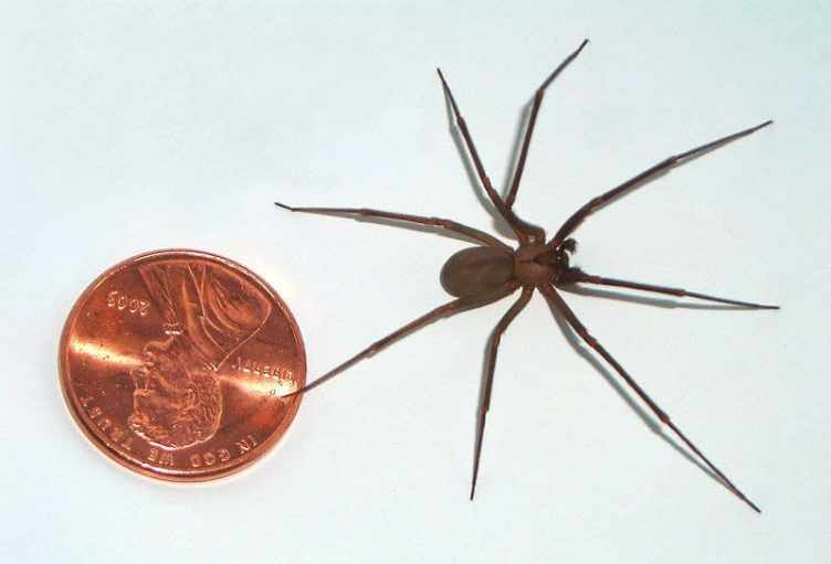 Loxosceles reclusa - brown recluse spider size comparison - Kopie