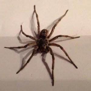 Lycosidae wolf spider