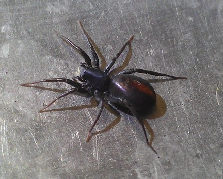 Picture or red-spotted and spider