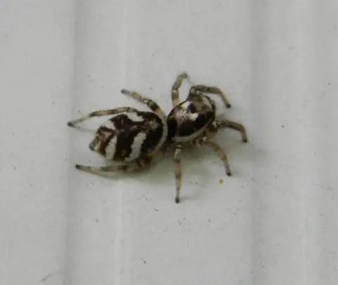 Salticus Scenicus - Zebra Jumping Spider