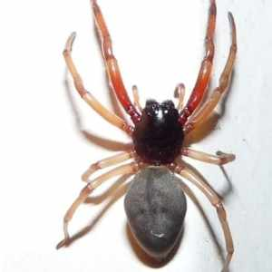 Trachelas Tranquillus Broad Faced Sac Spider