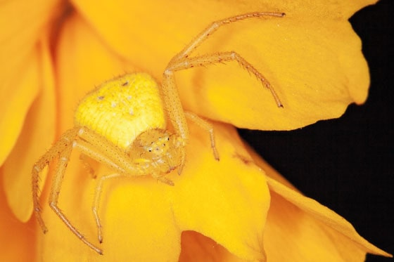 Yellow Crab Spider Misumena vatia, Daybreak, july 2020 found in Utah
