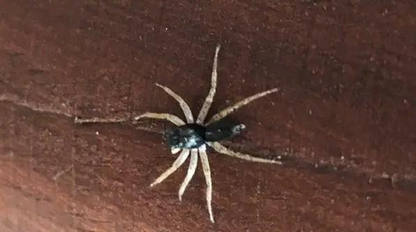 Dark morph dimorphic jumping spider
