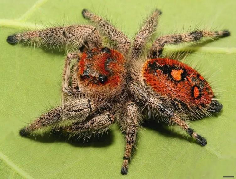 Regal jumping spider orange form female in florida