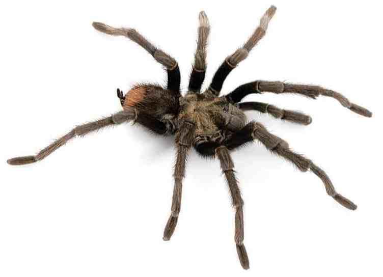 Aphonopelma eutylenum male california ebony tarantula