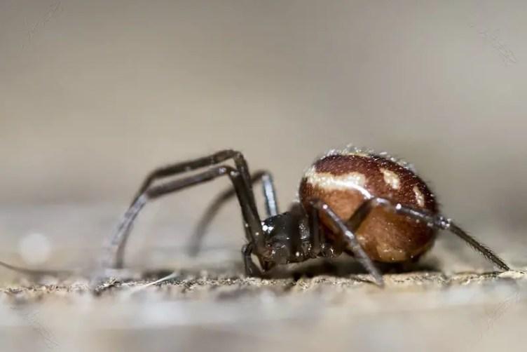 Female false widow steatoda grossa with brown body