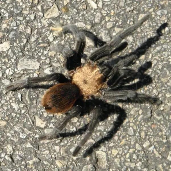 Texas brown tarantula on the street in texas size around 4 inches leg span