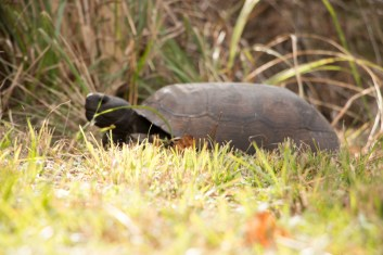 Gopher Tortoise, Key Vista Nature Park. www.usathroughoureyes.com