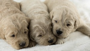 Photo Gallery- F1 Goldendoodle 14