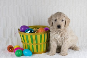 Photo Gallery- F1 Goldendoodle 17