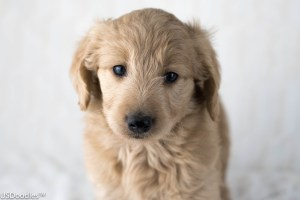Photo Gallery- F1 Goldendoodle 2
