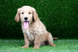 Photo Gallery- F1 Goldendoodle 39