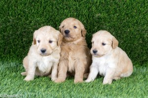 Photo Gallery- F1 Goldendoodle 43