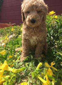 Photo Gallery- F1b Labradoodle 10