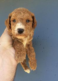 Photo Gallery- F1b Labradoodle 11